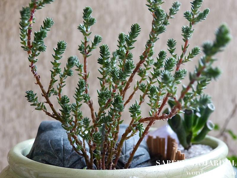 mini jardim cactos suculentas : mini jardim cactos suculentas:minisuc_06