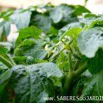 Como Polinizar Tomateiros