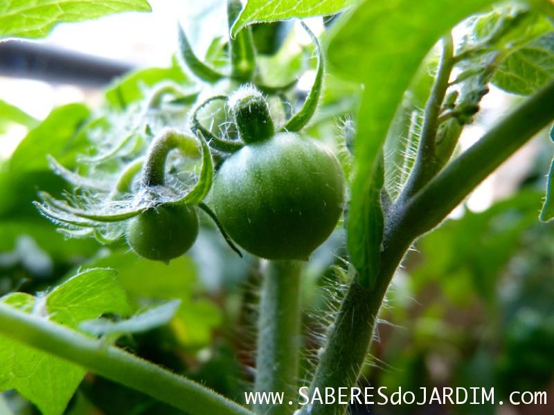 Polinizar Tomateiros