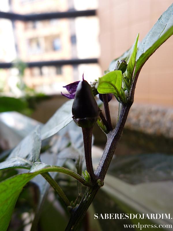 Pimenta Jalapeno Purple