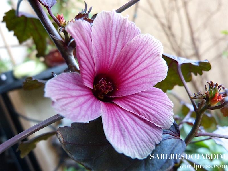 Vinagreira Roxa (Hibiscus acetosella)