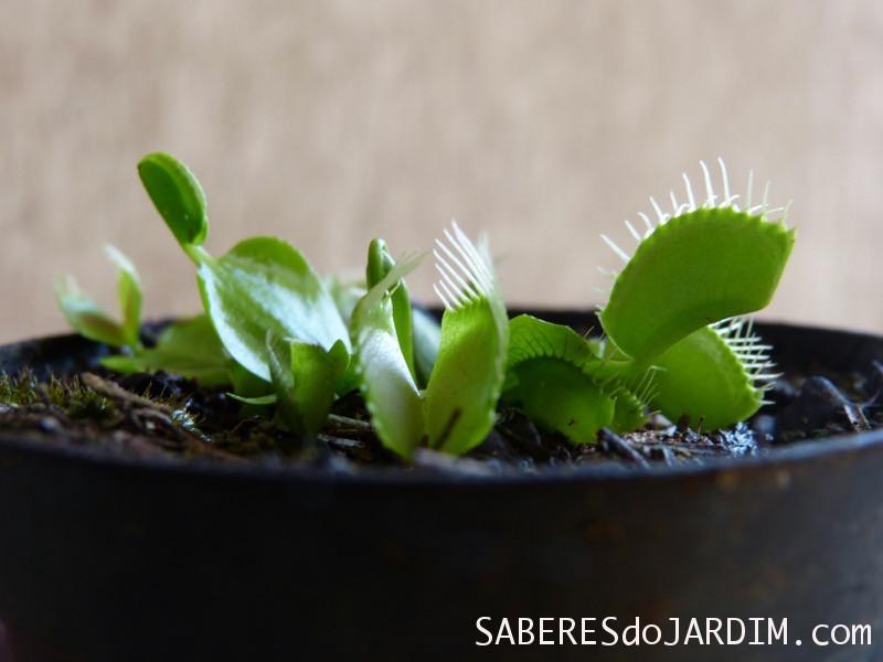 Planta Carnívora - Dionaea muscipula