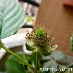 Parece framboesa, mas é rubus fruticosus, amora-silvestre