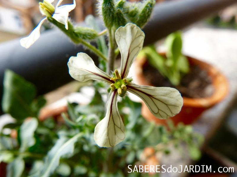 Flor da rúcula