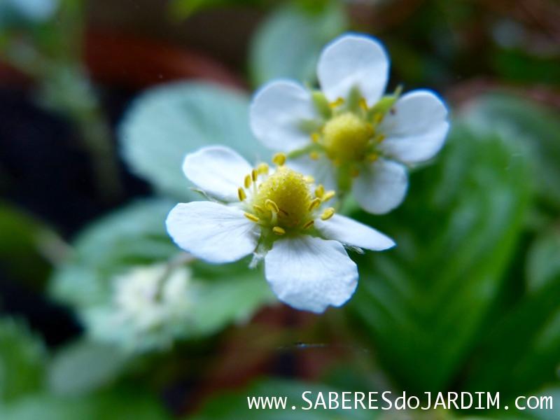 Flores dos Morangos