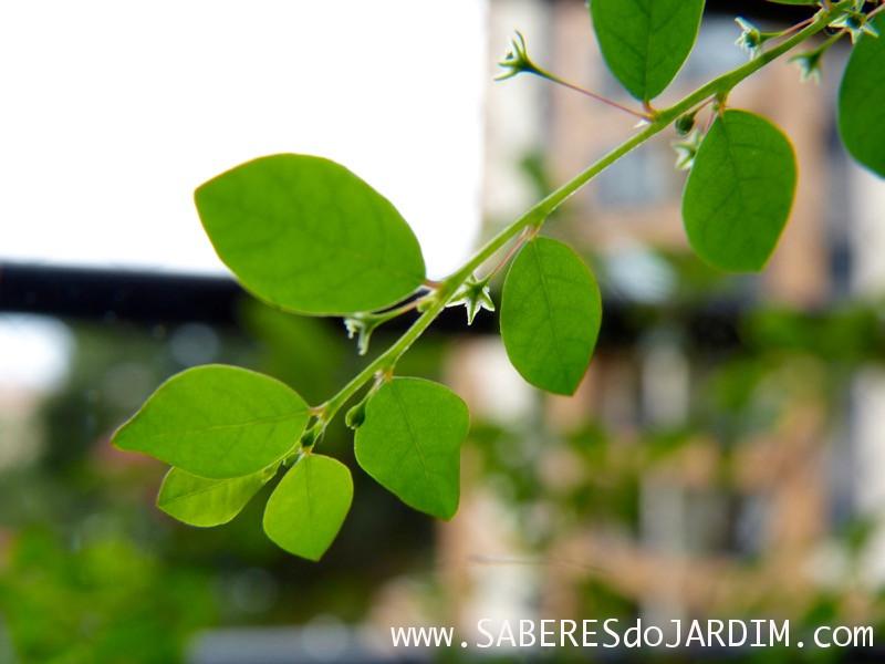 Quebra-Pedra (Phyllanthus Tenellus)
