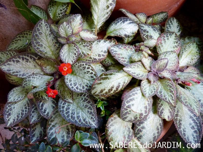 Planta Tapete - Episcia Cupreata