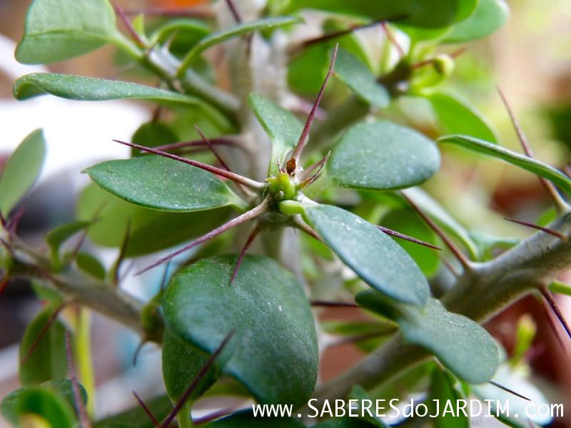Suculenta Euphorbia milli mini