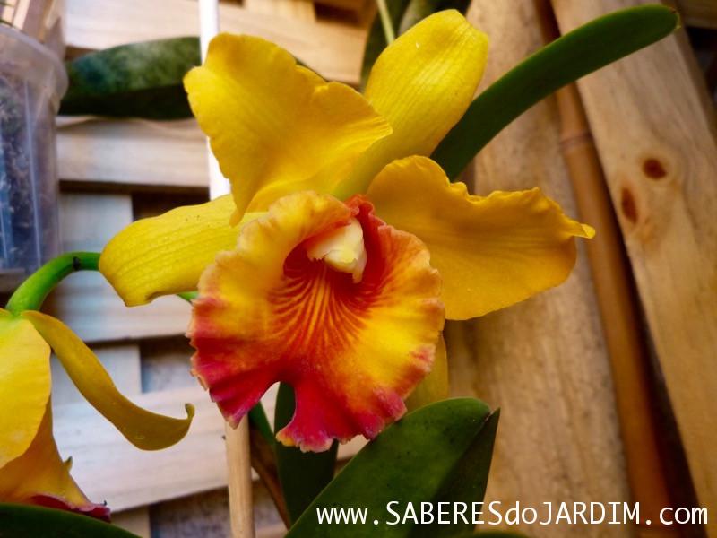 Orquídeas em Árvores - Cattleya
