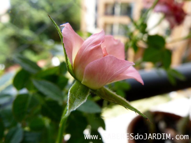 Mini Rosas - Rosa Chinensis