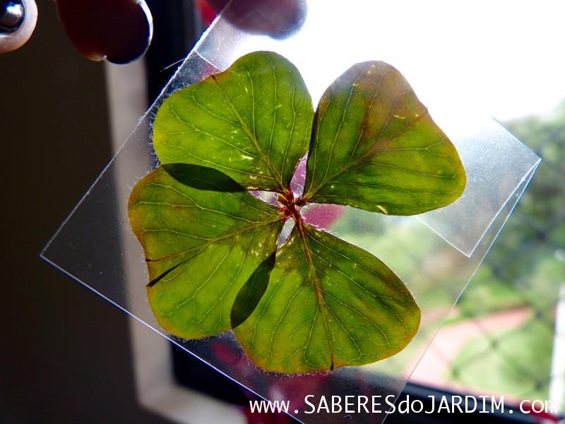 Trevo de 4 Folhas - Bulbos - Oxalis tetraphylla