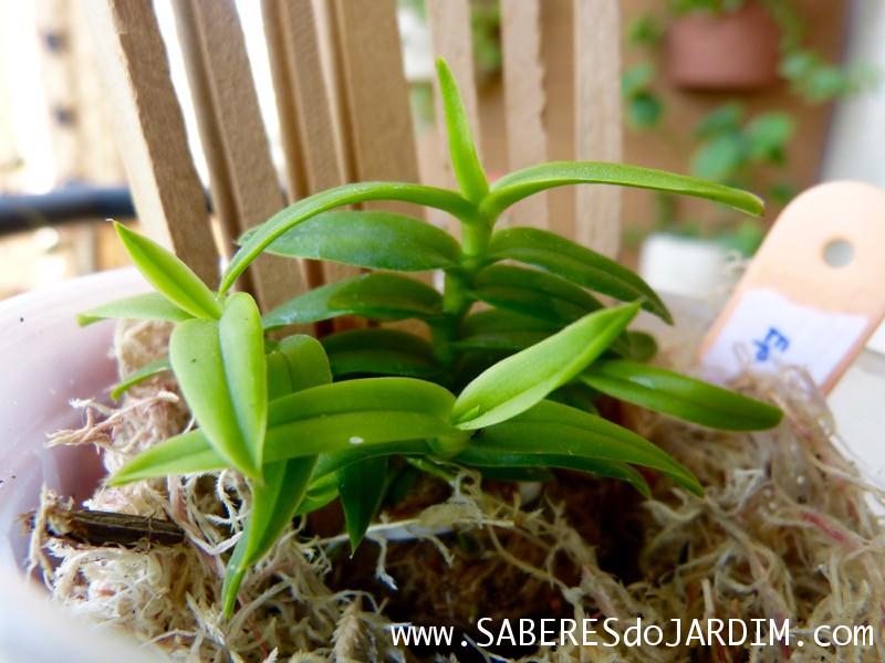Micro Orquídea Epidendrum Peperomia