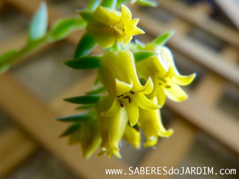 Planta Suculenta Echeveria Pulidonis - Flores