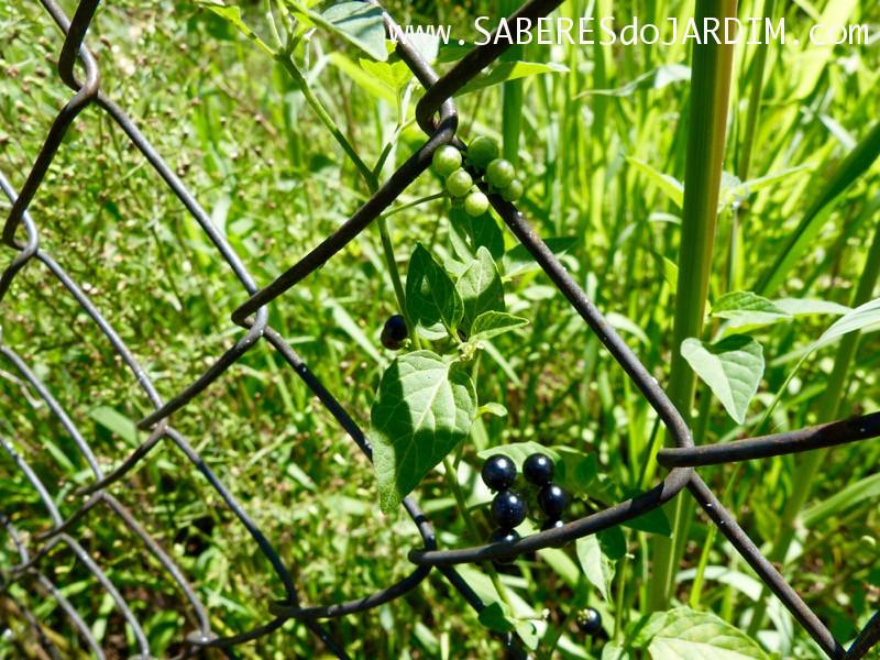 Caçadora de Plantas - Identificar Espécies e Coletar Sementes - Solanum americanum - Maria Pretinha
