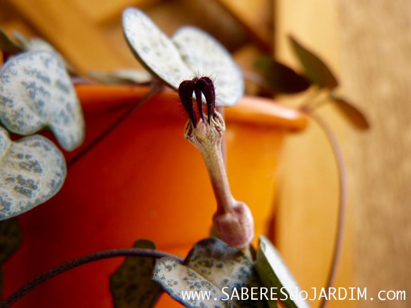 Suculenta Ceropegia woodii - Coração Emaranhado