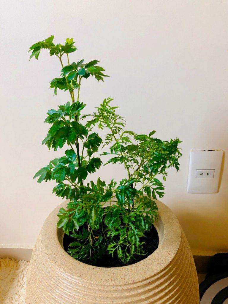 Arvore da Felicidade - Polyscias guilfoylei - Polyscias fruticosa