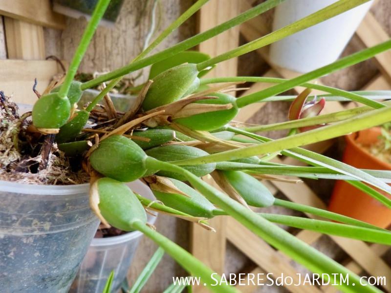 Orquídea Maxillaria Tenuifolia