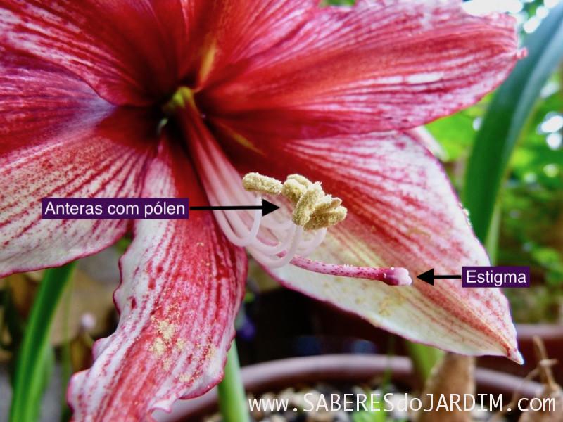 Amarilis Tosca - Hippeastrum hybridum