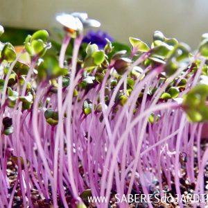 Microverdes de Repolho Roxo